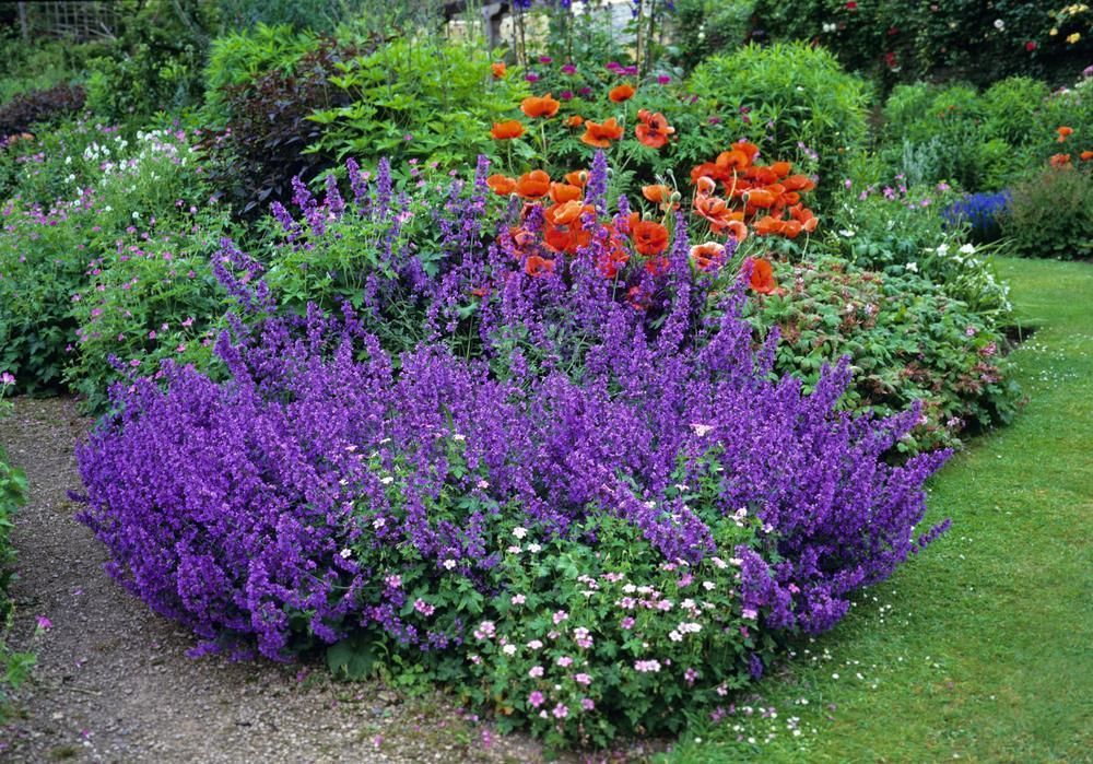 catmint seeds nepeta mussinii hardy perennial blooms every year. Black Bedroom Furniture Sets. Home Design Ideas