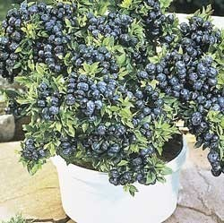 Sweet Dwarf Blueberry Seeds -FULL SizeFruits on the Dwarf Plant