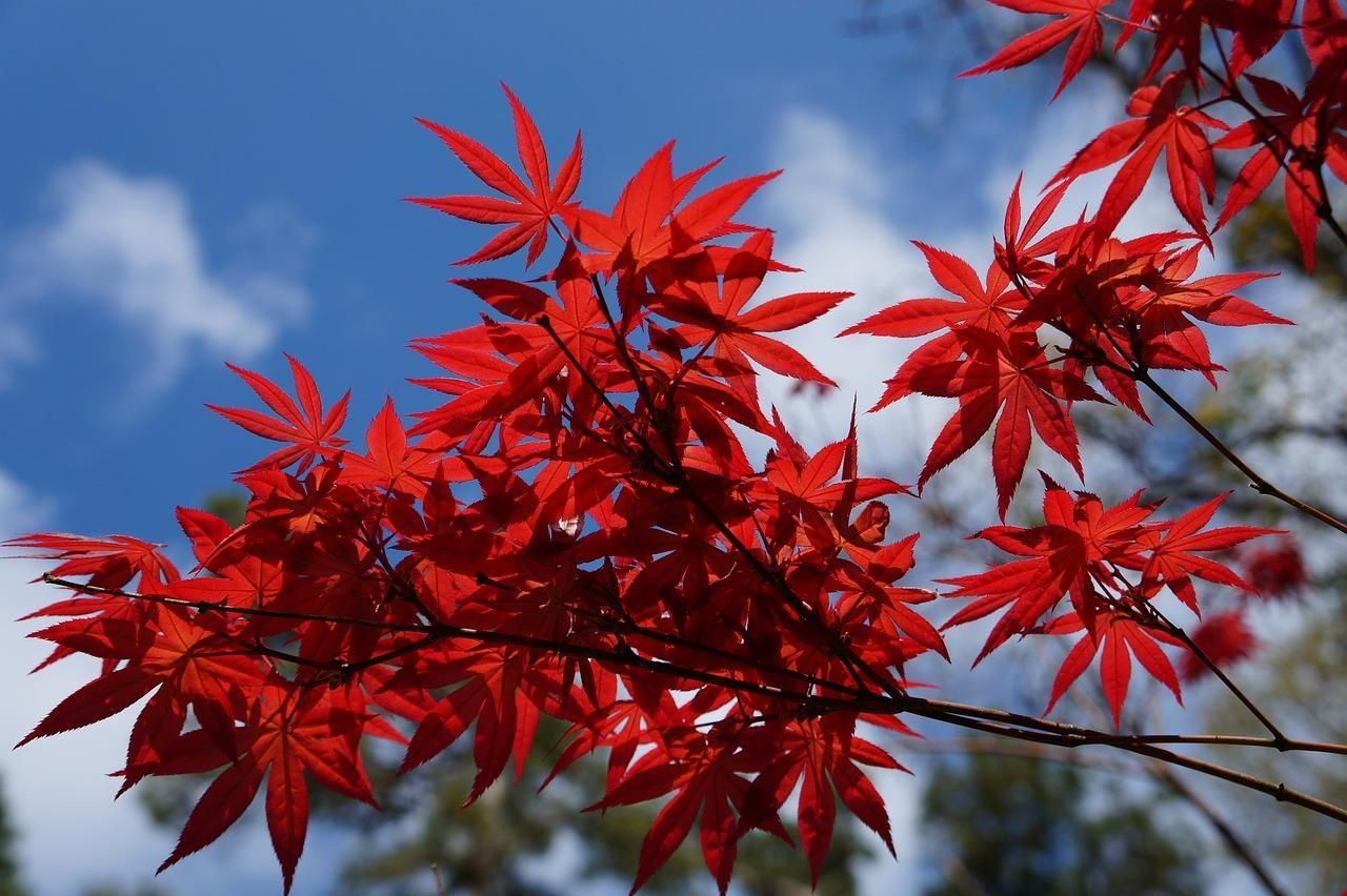 Acer Palmatum Japanese Maple Bloodgood 5 Seeds Bonsai Or Garden
