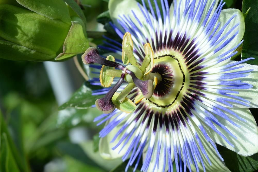how to grow blue passion flower from seed