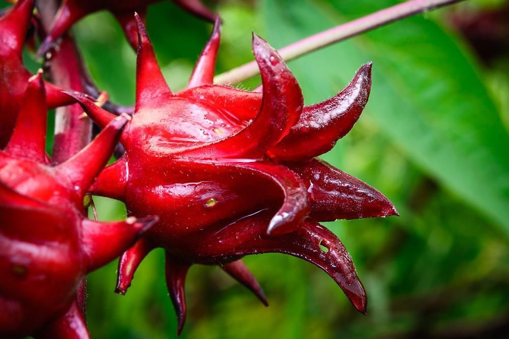 Hibiscus Sabdariffa Seeds Roselle 10 Seeds Decorative Great For