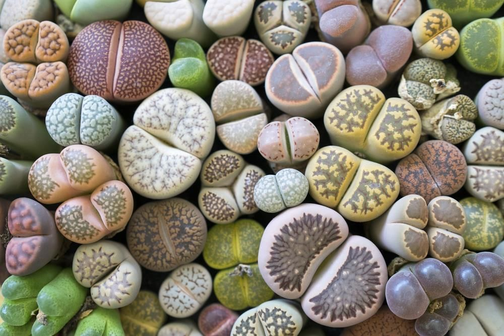 Lithops Mixed Seeds Living Stones Succulent