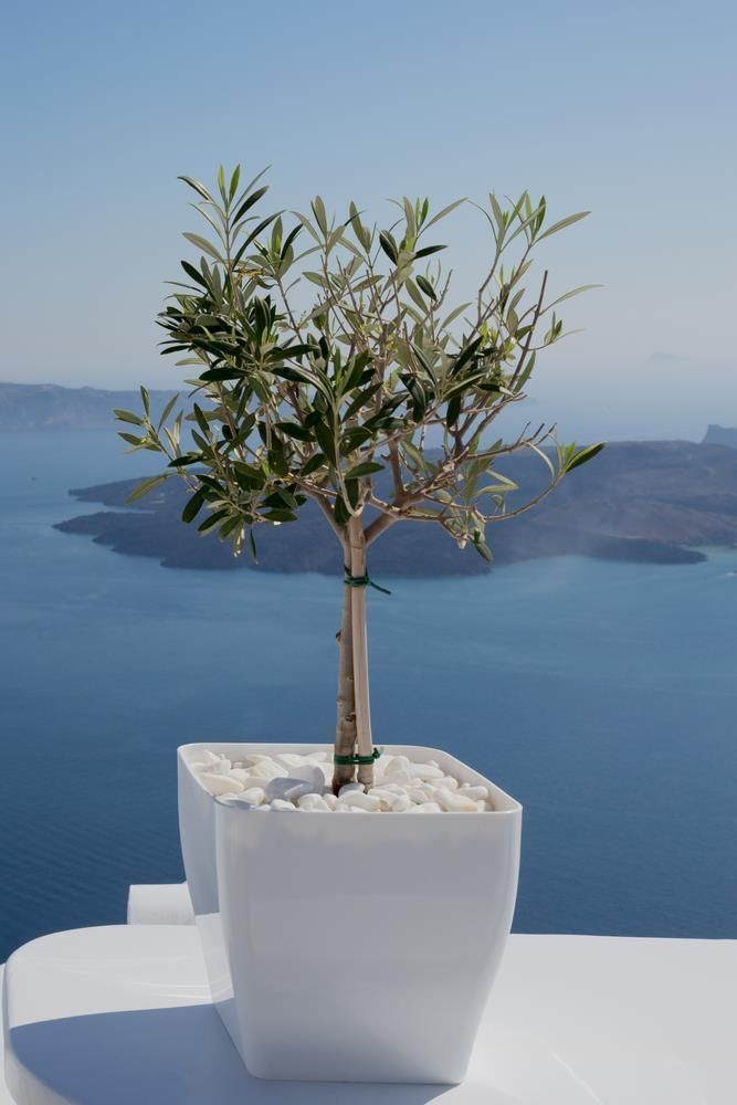 Olive Tree 5 Seeds Great For Bonsai Patio Or Full Size