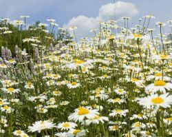 OY-Eye Daisy 1000 Seeds Wild Flower-Statement of the Flower Meadow