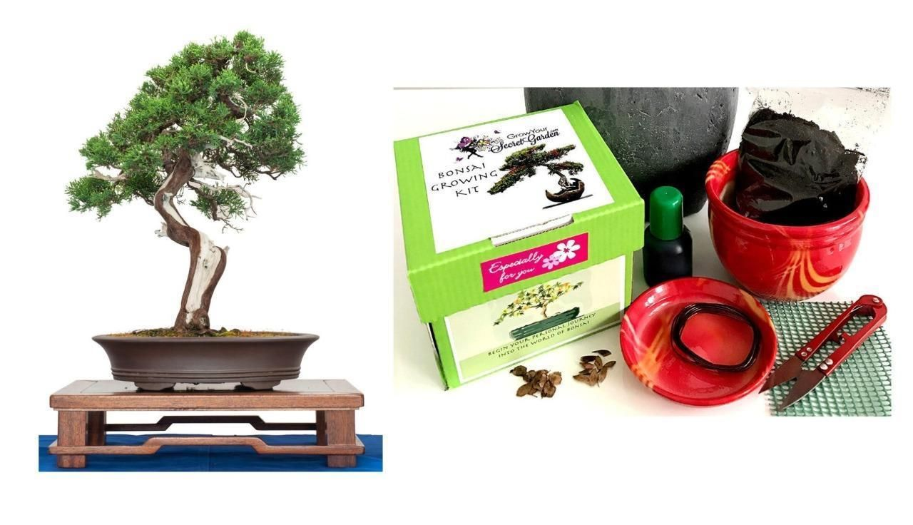 All You Need Great Gift//Ceramic Chinese Juniper Bonsai Growing Kit Complete