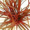 Red Hook Sedge Ornamental Grass 15 Seeds,Uncinia Grass - Crimson red all season