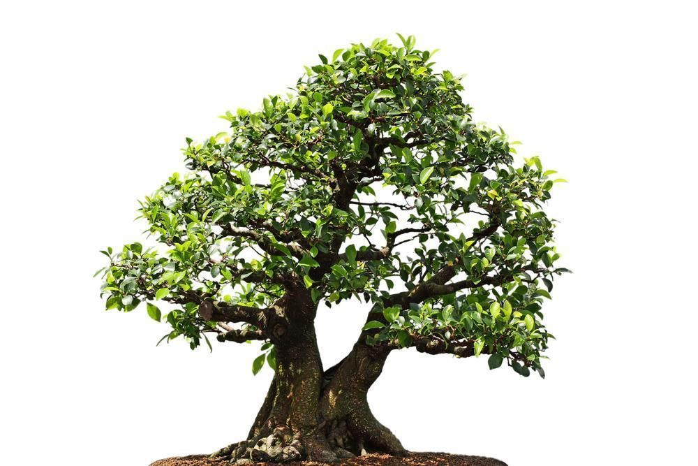 Weeping Fig Ficus Benjamina 20 Seeds Bonsai Patio Etc
